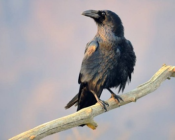 Information about Crow in Hindi