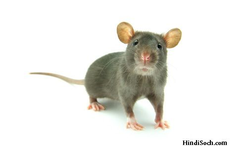 rat facts in hindi