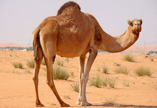 Camel in Hindi